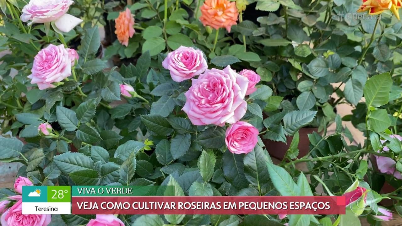 Veja como cultivar roseiras em pequenos espaços