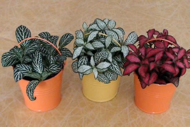 Planta Fitônia em pequenos vasos (Foto: Pinterest/Reprodução)