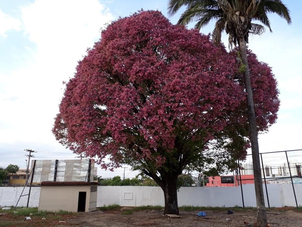Só há duas unidades de sapucaia em Goiânia, sendo que uma fica no Parque de Exposições Agropecuário, no Setor Nova Vila — Foto: Ormando Pires/ Agência Municipal do Meio Ambiente