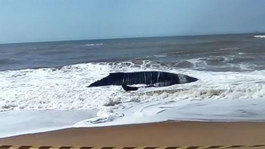 Baleia jubarte viva encalha em praia de Linhares, no Norte do ES