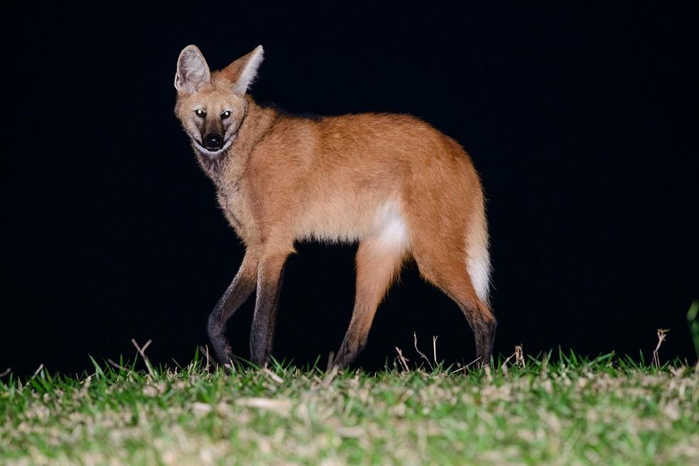 Apesar de ser flagrado durante o dia, o lobo-guará é uma espécie de comportamento solitário e hábitos noturnos — Foto: Tiago Degaspari/Acervo Pessoal