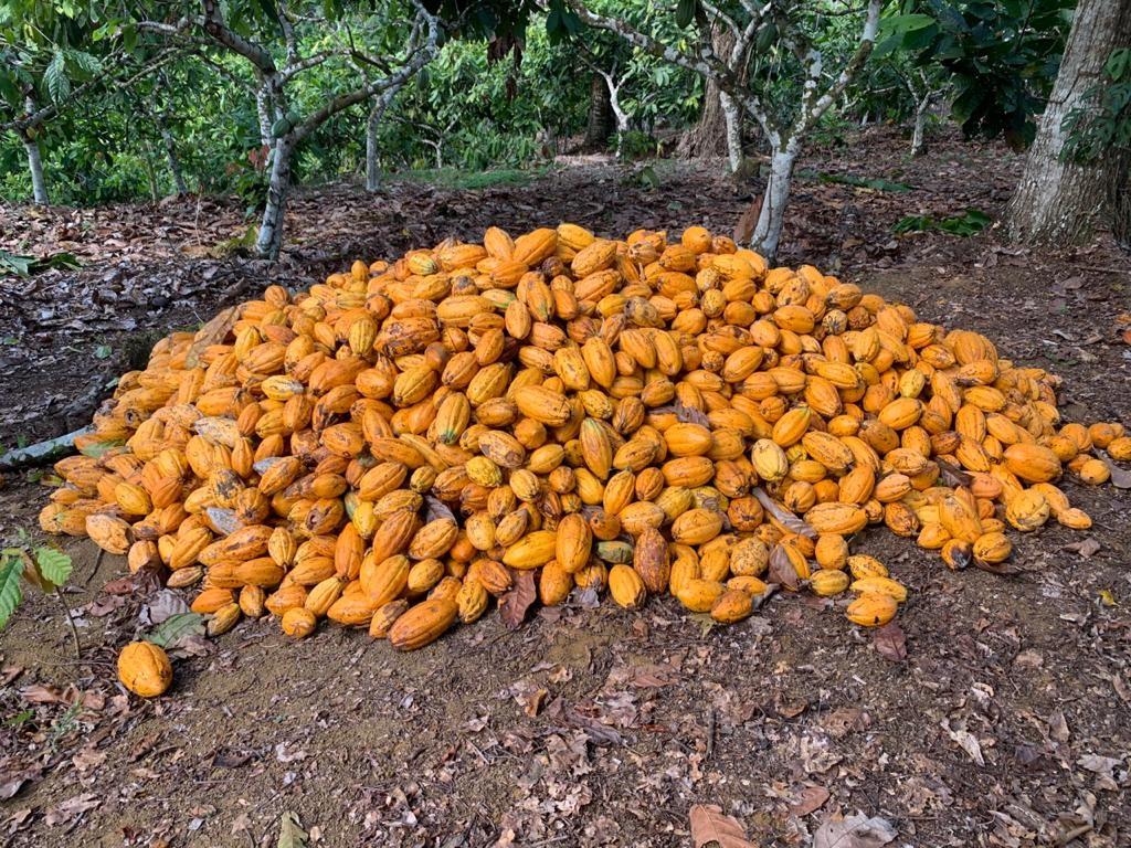 Cacau catongo, variedade que se diferencia por ser branca com notas de nozes, flor e amendoado (Foto: João Tavares/Arquivo Pessoal)