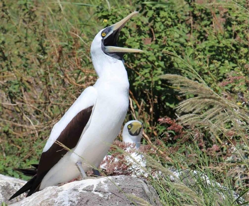 O atobá-grande é uma das aves avistadas em Redonda — Foto: Zaine Airall via BBC
