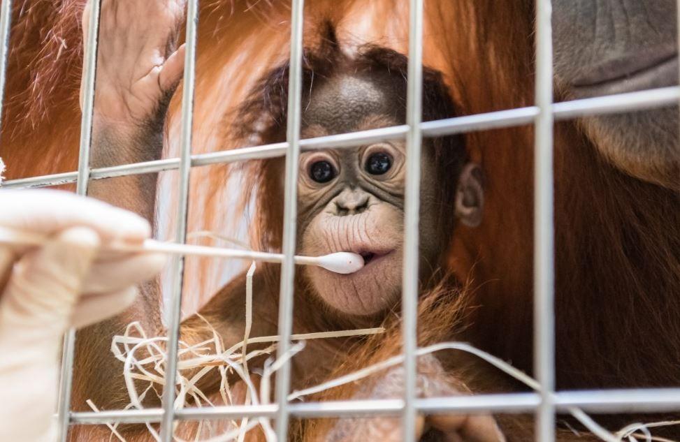 Pesquisadores coletam a saliva de Padma para o teste de DNA.  (Foto: Basel Zoo)