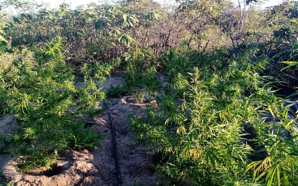 Plantação com 20 mil de pés de maconha é achada em povoado do norte da Bahia. — Foto: SSP-BA / Divulgação