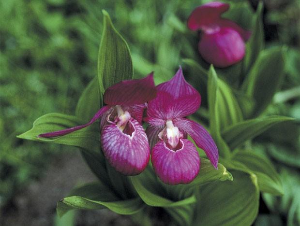 Orquídea sapatinho: conheça esta planta com flores impressionantes (Foto: Getty Images/TongRo Images RF)