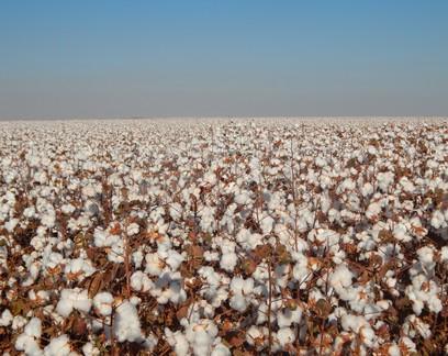 Imea mantém previsão de produção de algodão no MT em 2020/21
