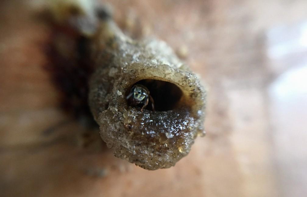 Abelha sem ferrão da espécie jataí 'vigiando' colmeia — Foto: Lílian Marques/ G1