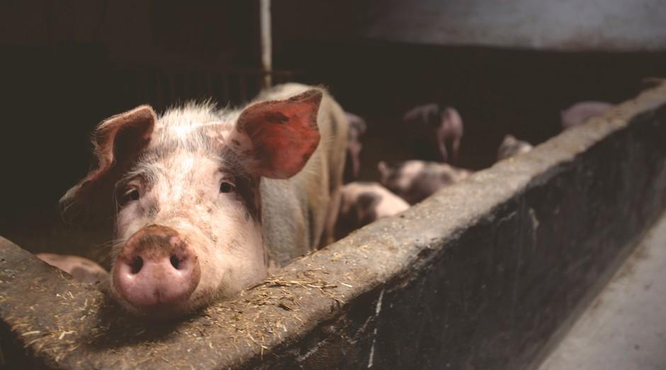 fazenda, porco (Foto: Reprodução/Pexels)