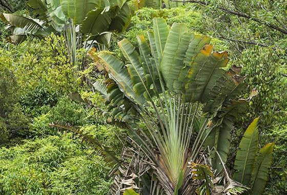 Um grupo de ravenalas em uma floresta tropical perto de Toamasina, na costa O oeste do país  (Foto:  © Haroldo Castro/ÉPOCA)