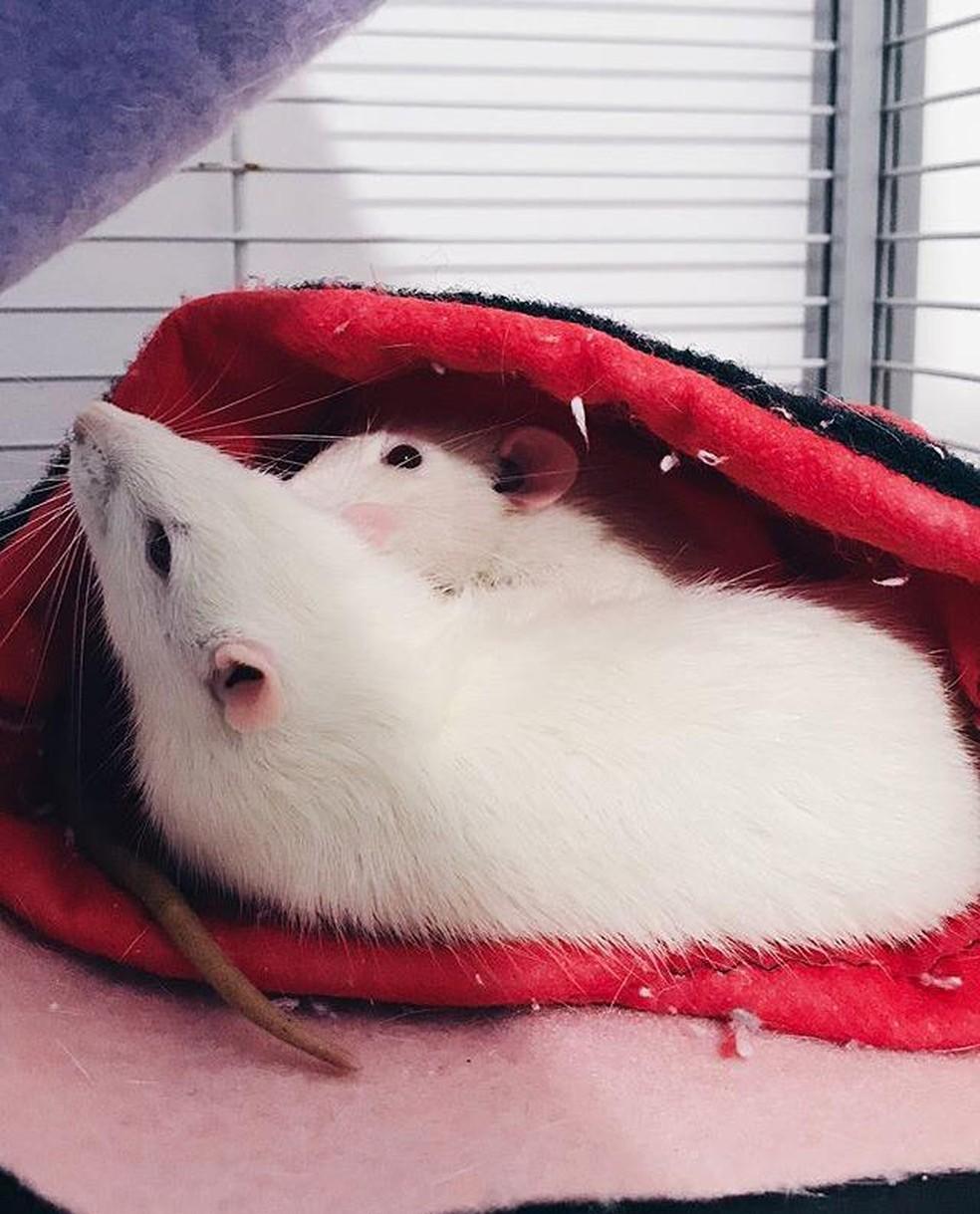 Darwin e Dexter, primeiras ratazanas adotadas por Ana Carolina. — Foto: Arquivo pessoal