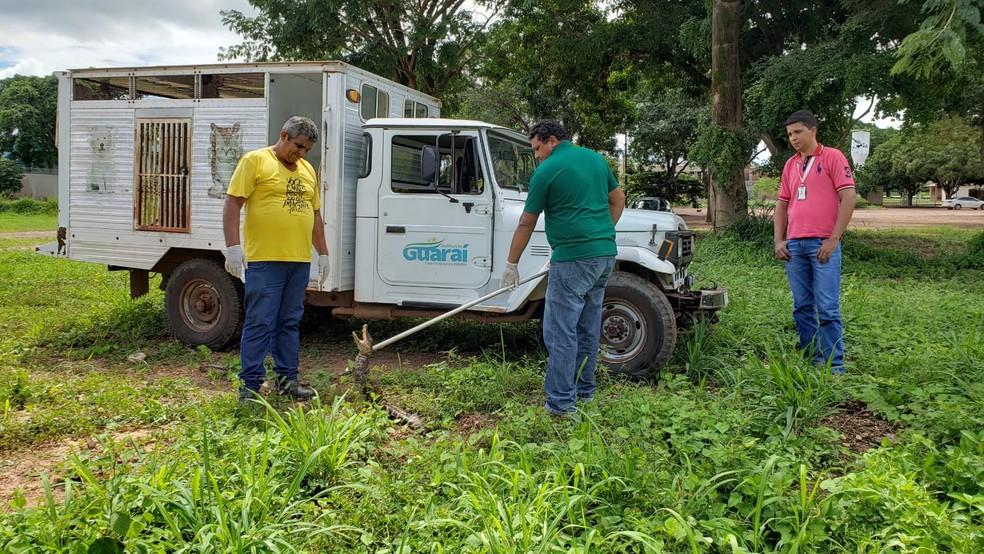 Animal foi imobilizado pro equipe do CCZ — Foto: Guaraí Notícias/Divulgação