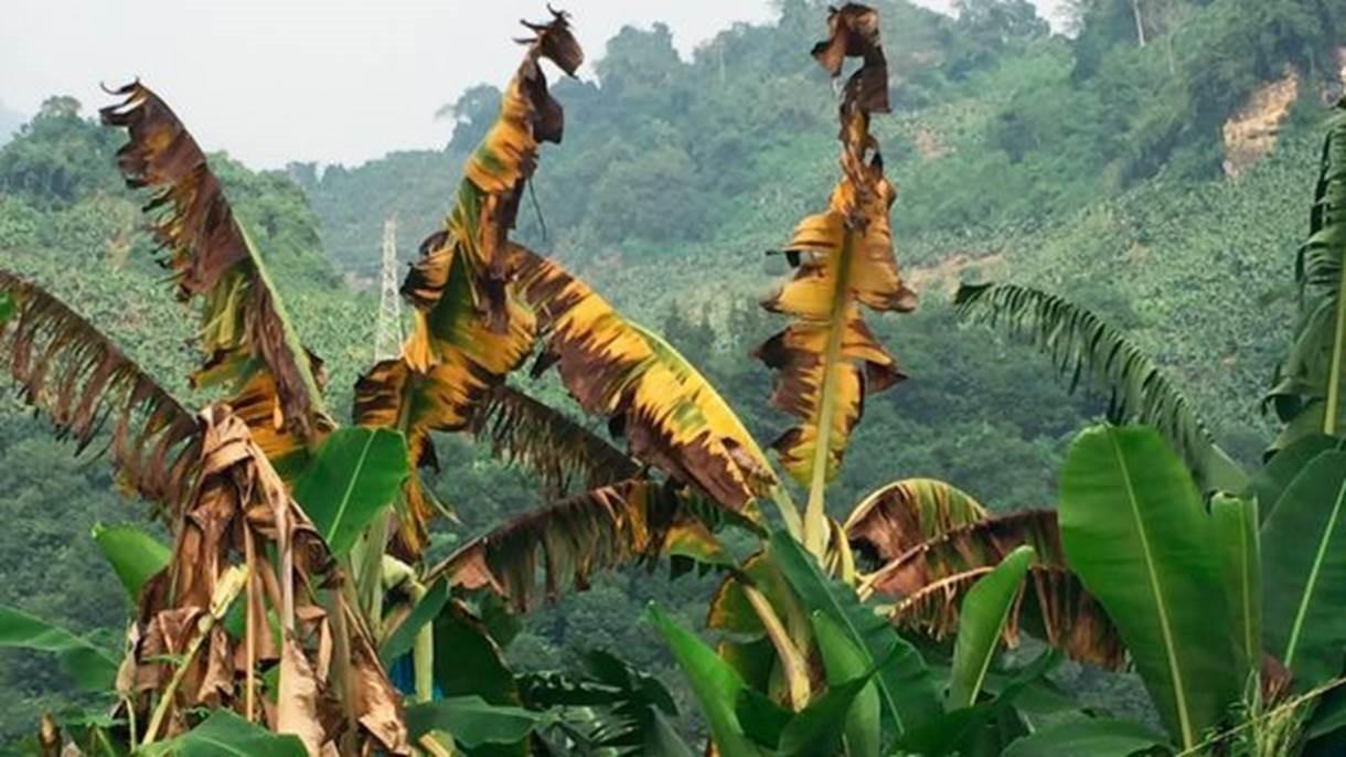 Quando a banana está infectada pelo fundo que causa o mal do Panamá, as folhas ficam amareladas, murcham, e as plantas morrem (Foto: FUSARIUMWILT.ORG via BBC)