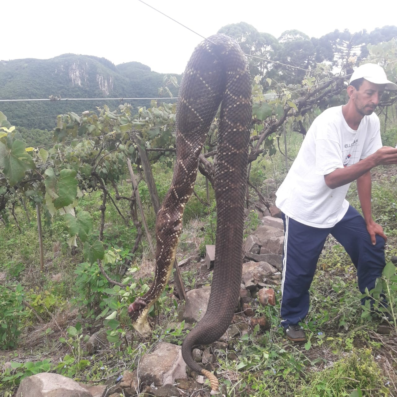 Cascavel é encontrada morta em vinícola de Campestre da Serra