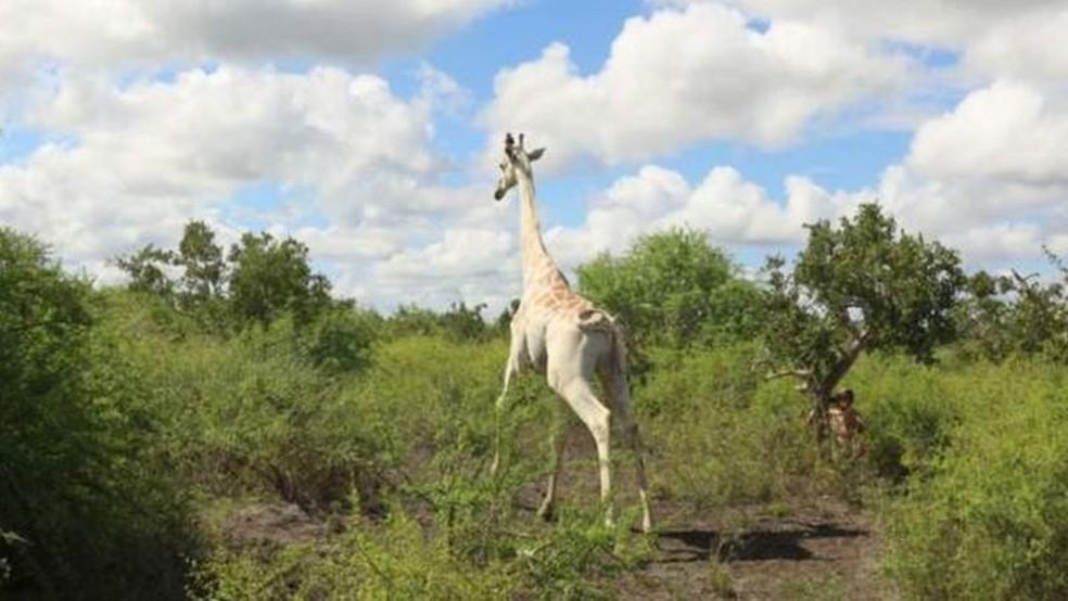 'Única girafa branca do mundo' é equipada com rastreamento por GPS — Foto: Hirola Conservancy/BBC