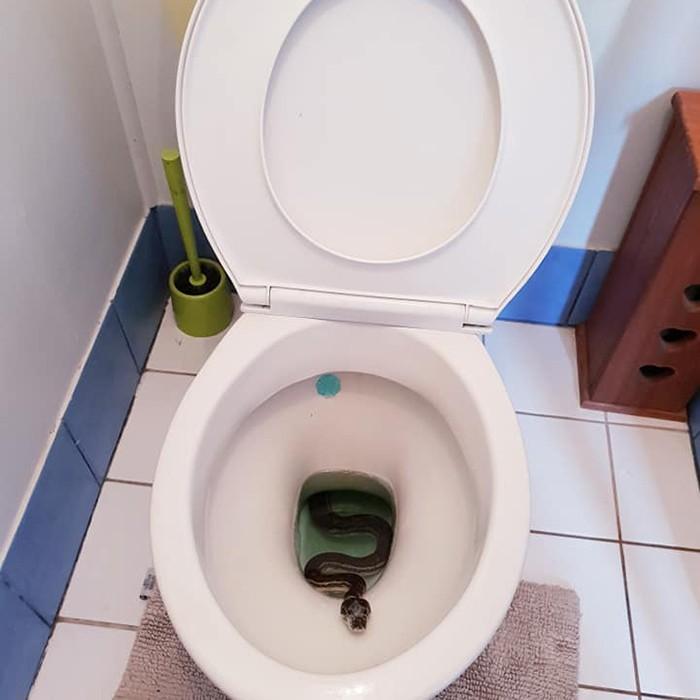 Australianos encontram cobra píton no vaso sanitário de casa