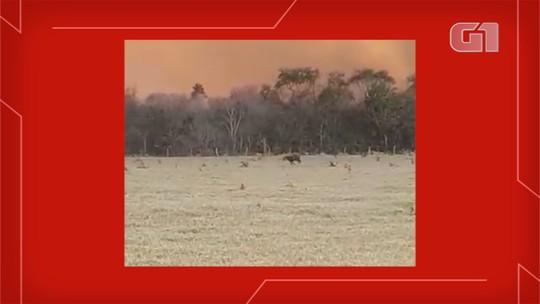Gavião 'fumaça' ronda incêndio a procura de presas que fugiam do fogo em MS