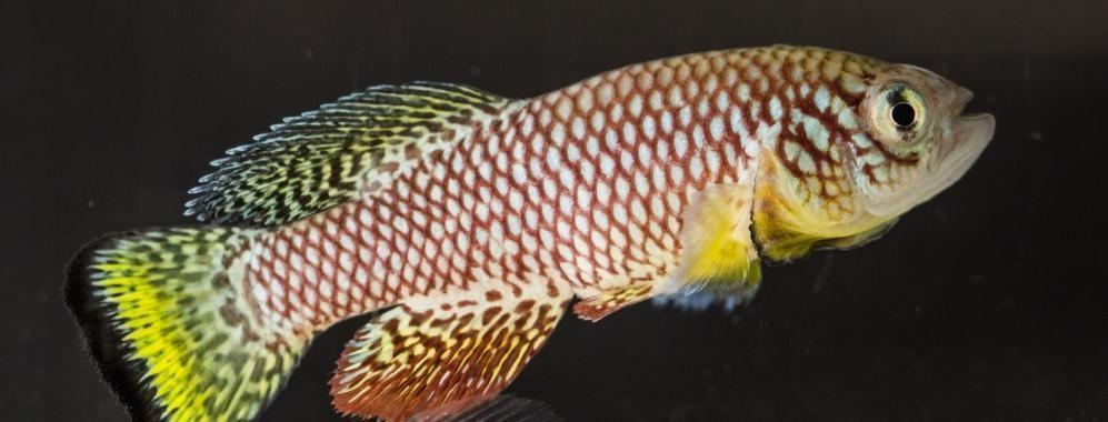Peixe Nothobranchius furzeri é encontrado apenas no Zimbabwe e em Moçambique (Foto: nothobranchius.info)