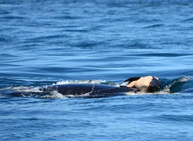 O exemplo da orca levou mães que também perderam filhos no nascimento a desabafarem: também gostariam de ficar mais tempo com eles (Foto: Repodução)