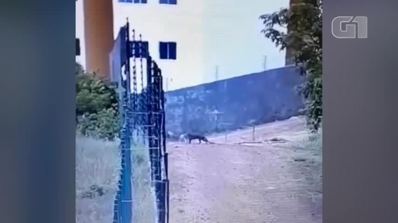 Vídeo mostra gato-mourisco preto tentando entrar em área de condomínio residencial