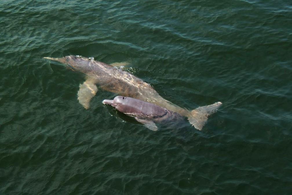 A descrição do golfinho foi peita a partir de carcaças encontradas.  (Foto: Gabriel Melo-Santos/Divulgação)