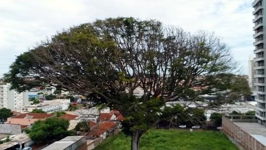 Defesa Civil interdita área perto de árvore com mais de 20 m de altura com risco de queda