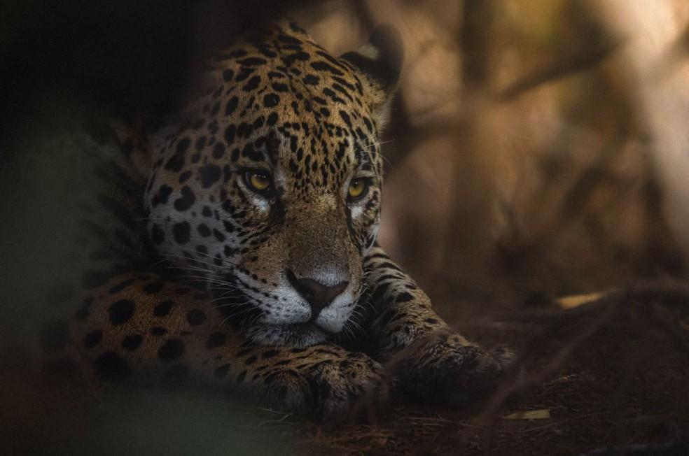 Onça-pintada fotografada no Pantanal — Foto: Valter Patrial/Divulgação