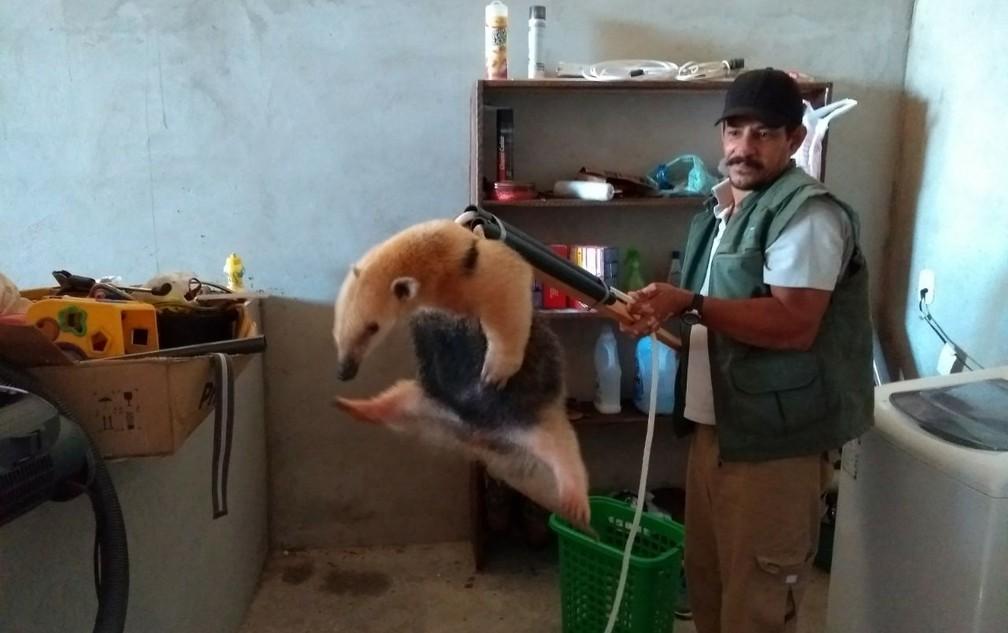 Fiscal do IAP fez o resgate do tamanduá-mirim, encontrado na casa (Foto: Antônio Carlos Terto/IAP)