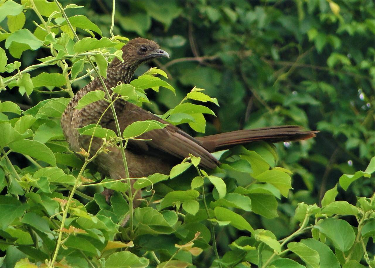 Ortalis remota é considerado o mais raro dos aracuãs - Noticias