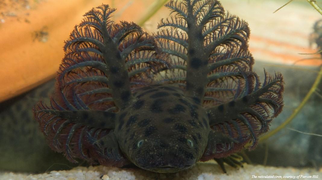 Sirene reticulada recém descrita nos EUA. (Foto: Cortesia / Pierson Hill)