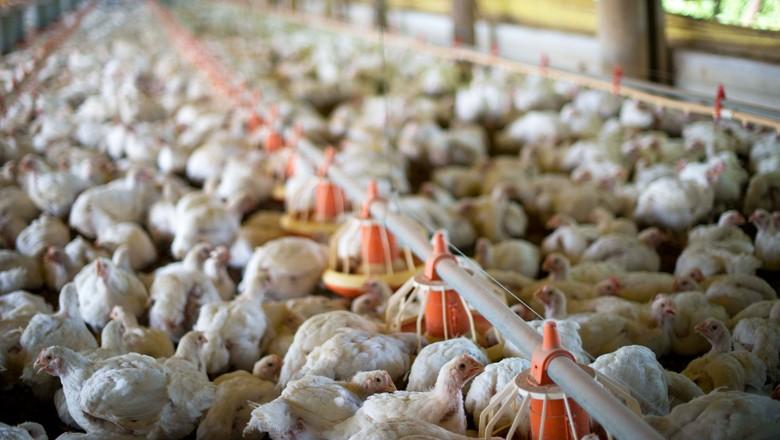 frango-aves-galinha (Foto: Globo Rural)