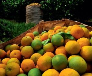 Safra de laranja de SP/MG recua 30,5% e confirma maior quebra da série histórica