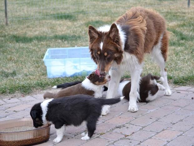 Sis, cadela da raça border collie, dá à luz nove filhotes após sobreviver a tiro e ser largada em estrada de Idaho, nos EUA (Foto: AP Photo/The Idaho State Journal, Michael O'Donnell)