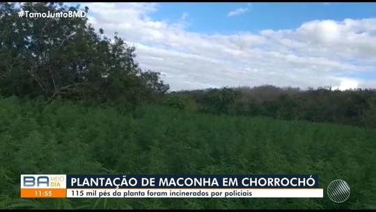 Plantação com 115 mil pés de maconha é localizada após denúncias no norte da Bahia