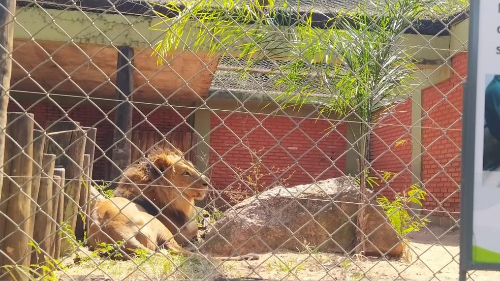 Único leão do zoológico de Bauru morre por complicação de doença crônica no fígado — Foto: Zoo de Bauru/Divulgação
