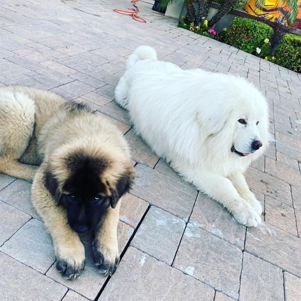 Cachorros de Chris Brown, Zues e Hades (Foto: Reprodução / Instagram)
