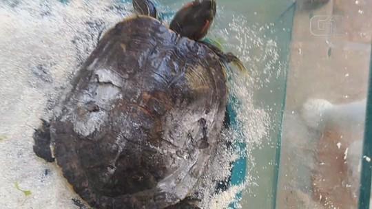 Tartaruga teve parte do caco destruído após ser atropelada em Ilha Comprida, SP