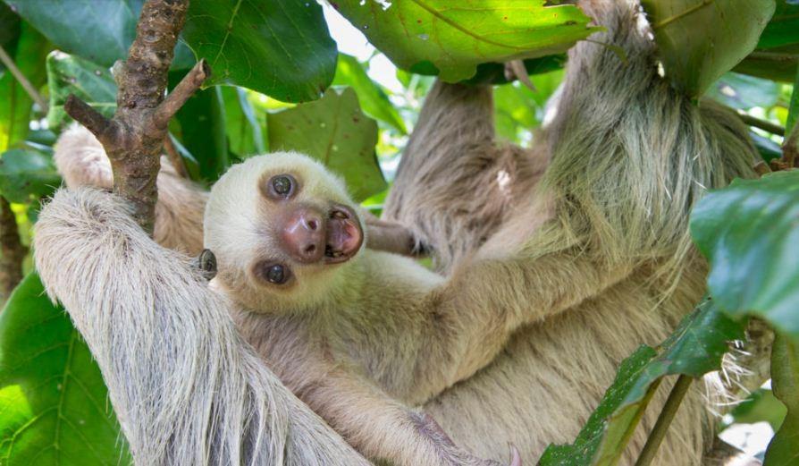 Fofa e estranha. (Foto:  Suzi Eszterhas / Fundação de Conservação de Preguiça da Costa Rica)