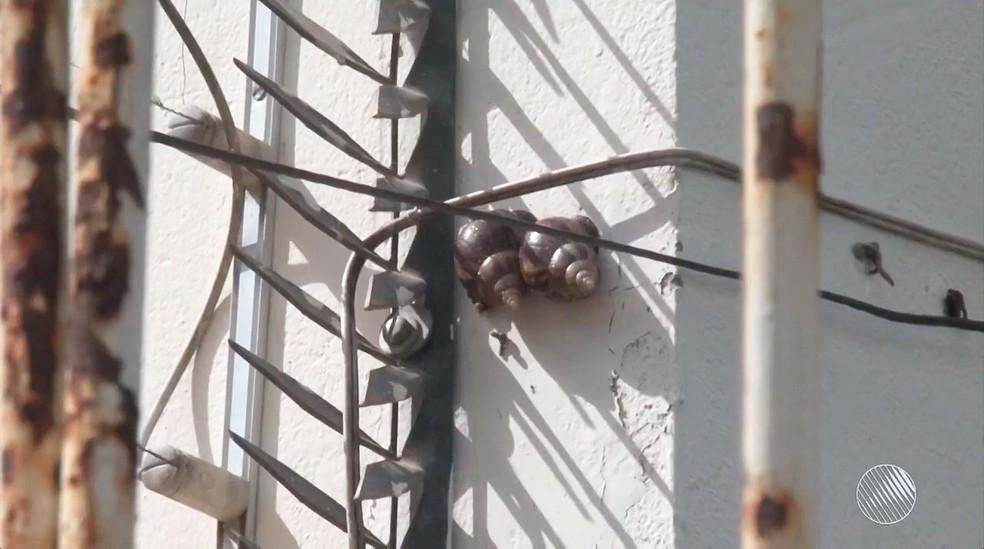 Caramujos perto da rede elétrica das residências no Conjunto Feira VI, em Feira de Santana (Foto: Reprodução/TV Subaé)
