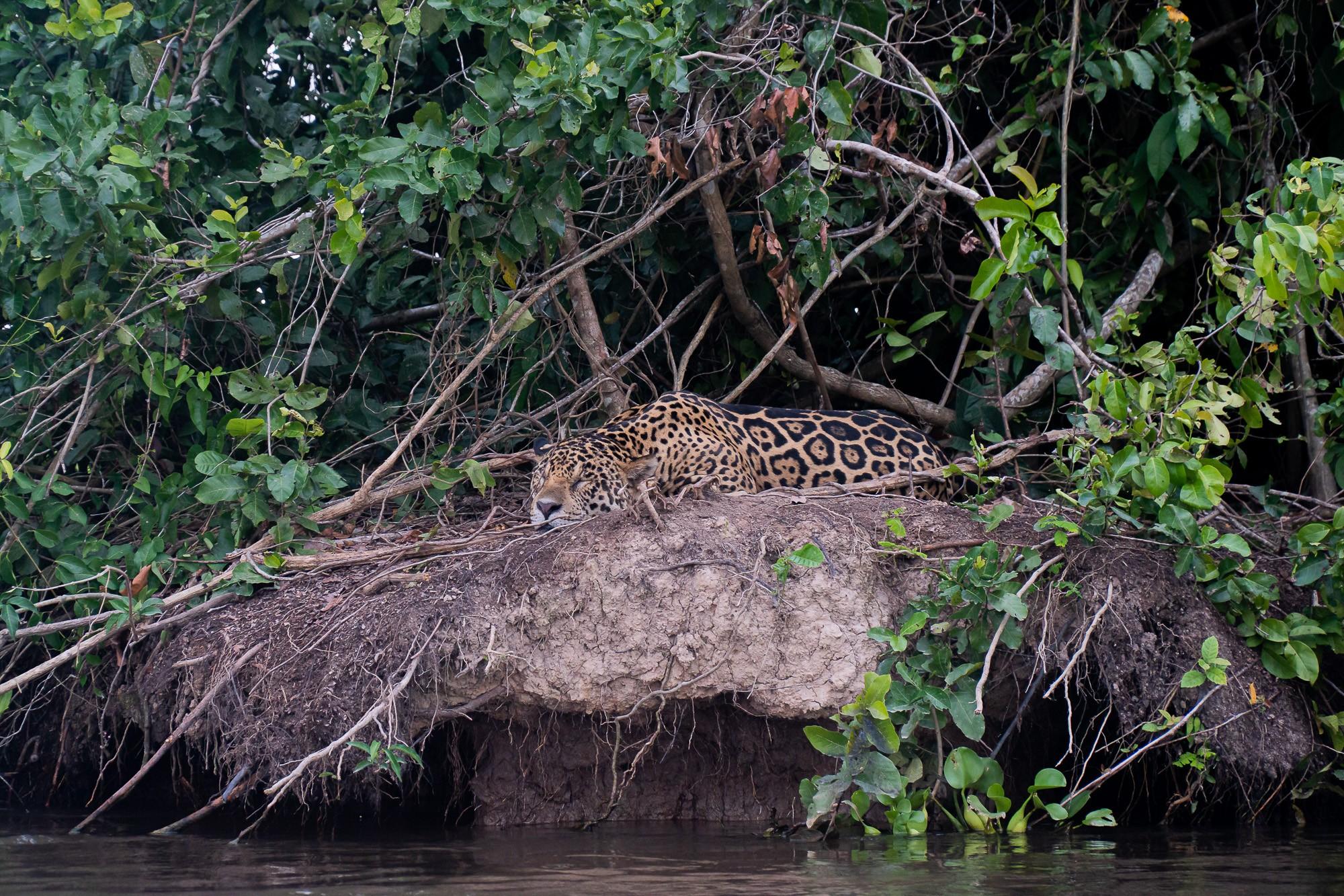 Veja onde e como fazer turismo de observação de onças no Pantanal - Notícias - Plantão Diário
