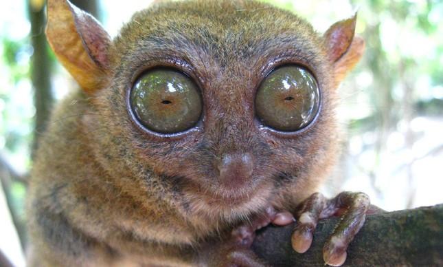Os enormes olhos do társio indicam os hábitos noturnos desse animal.