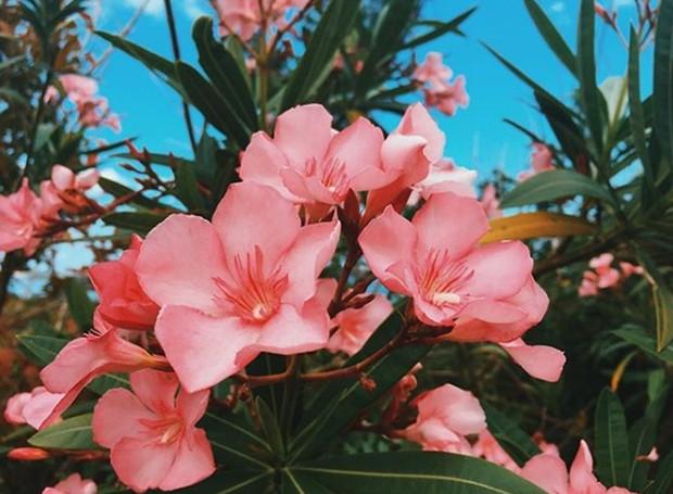Os oleandros rosa são o toque perfeito na paisagem (Foto: Instagram/ Reprodução)