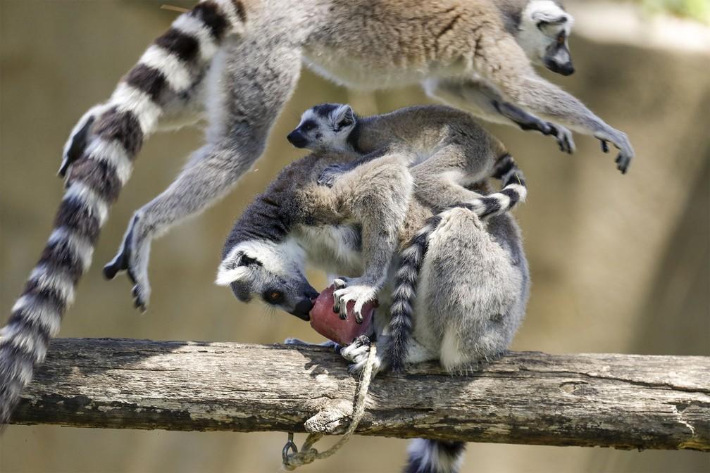 25 de junho - Um lêmure salta sobre uma fêmea e seu filhote agarrado às costas enquanto ela saboreia um picolé de frutas congeladas durante dia quente no zoológico Bioparco de Roma, na Itália — Foto: Andrew Medichini/AP