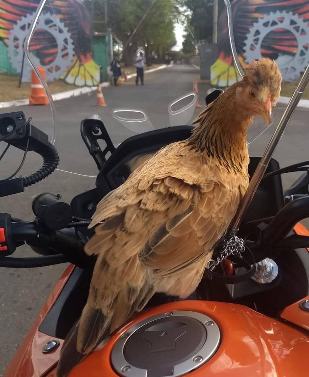 Conheça Nugget, a galinha que anda de moto e mora em 'castelo' em Águas Claras — Foto: Paulo Leite/Arquivo pessoal