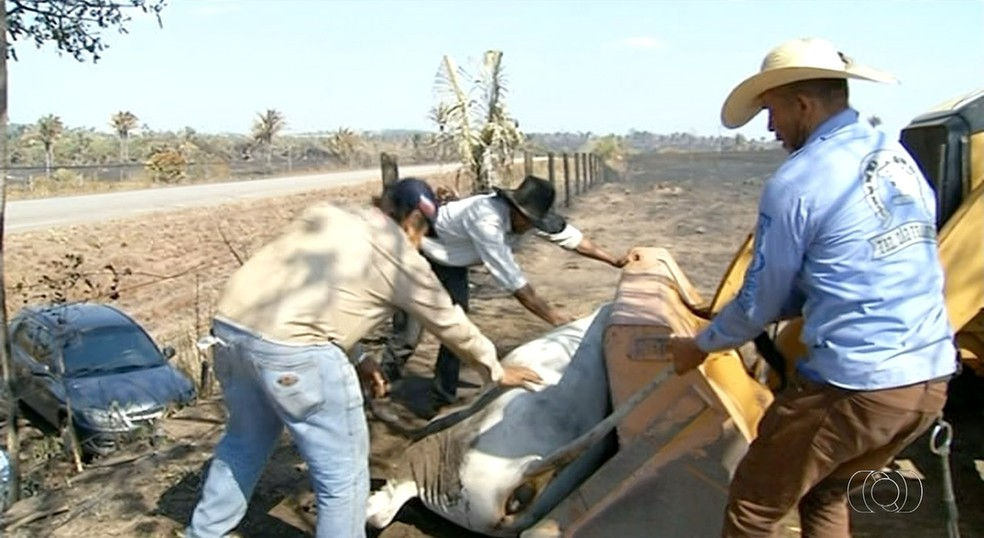 Gado que sobreviveu ao fogo é transportado para outra área (Foto: Reprodução/TV Anhanguera)