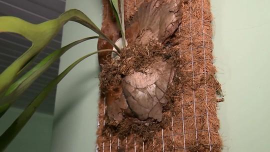 Comerciante de Campo Mourão transforma cocos que iam para o lixo em vasos sustentáveis