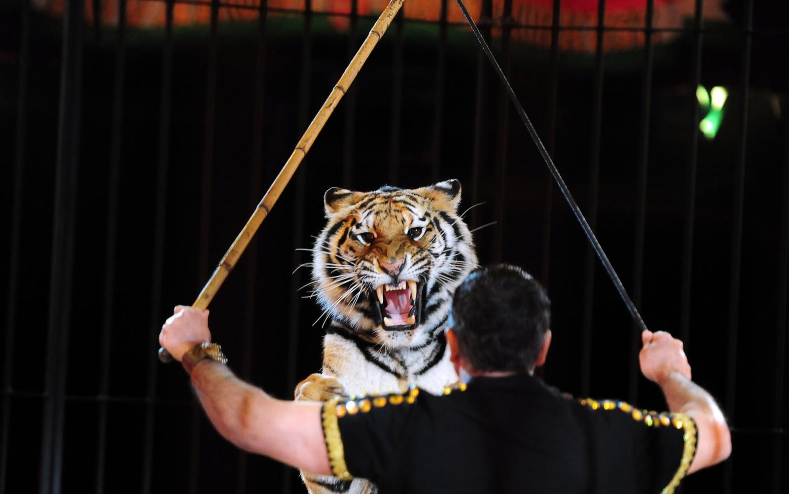 Domador de tigres da Itália é morto pelos animais durante treinamento