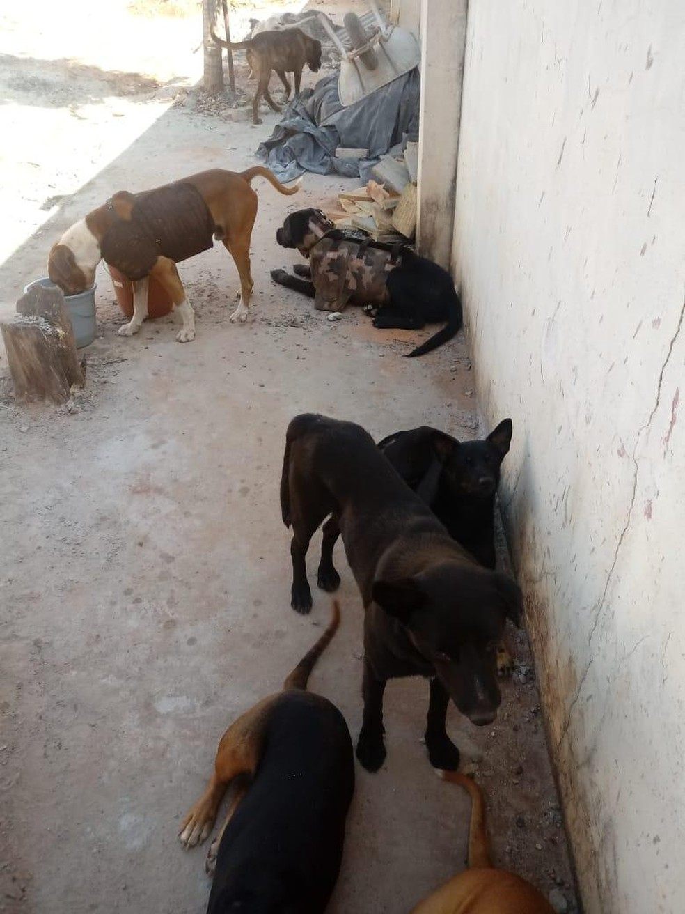 Cães foram utilizados na caça ilegal em Bariri — Foto: Polícia Ambiental/Divulgação