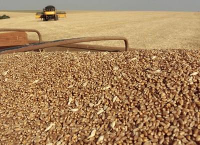 Trigo-grão-cereal-colheita (Foto: Divulgação/Biotrigo)