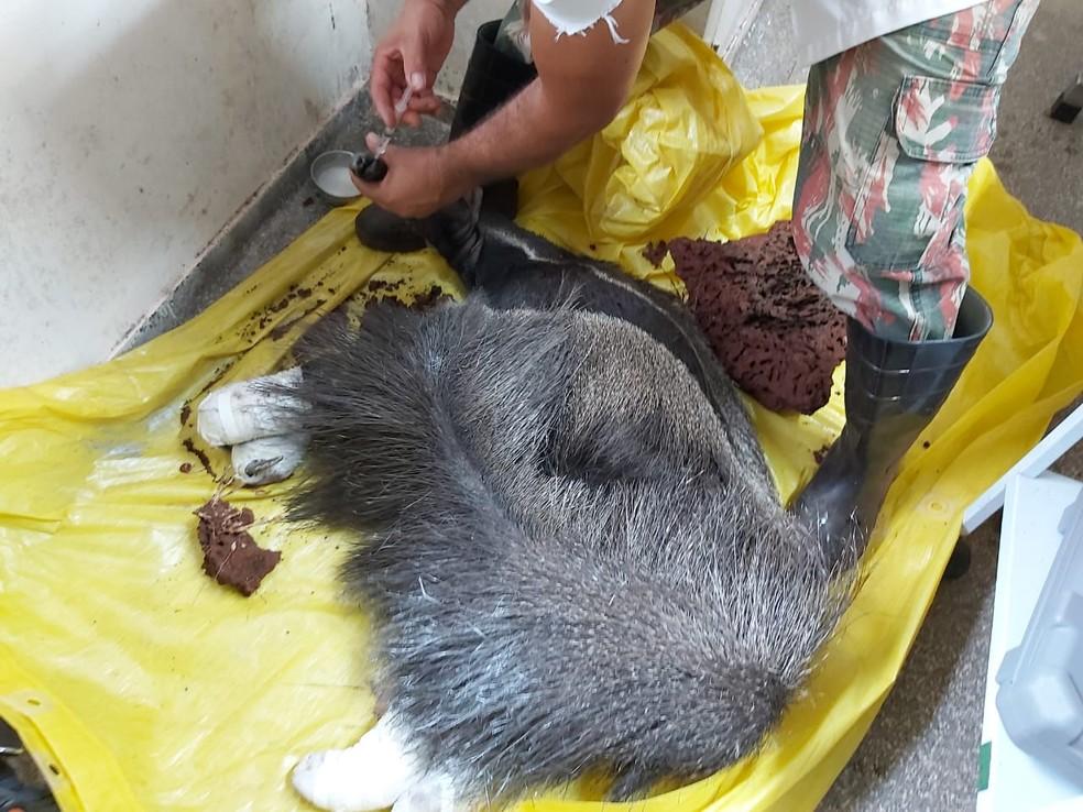 Tamanduá com as quatro patas queimadas e é resgatado de incêndios no Pantanal de MS. — Foto: Cras/Divulgação